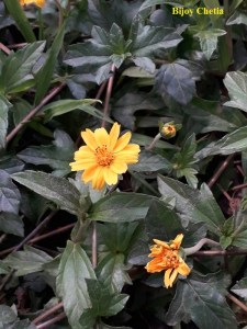 green leaves and yellow flowers of Chinese wedelia plants.