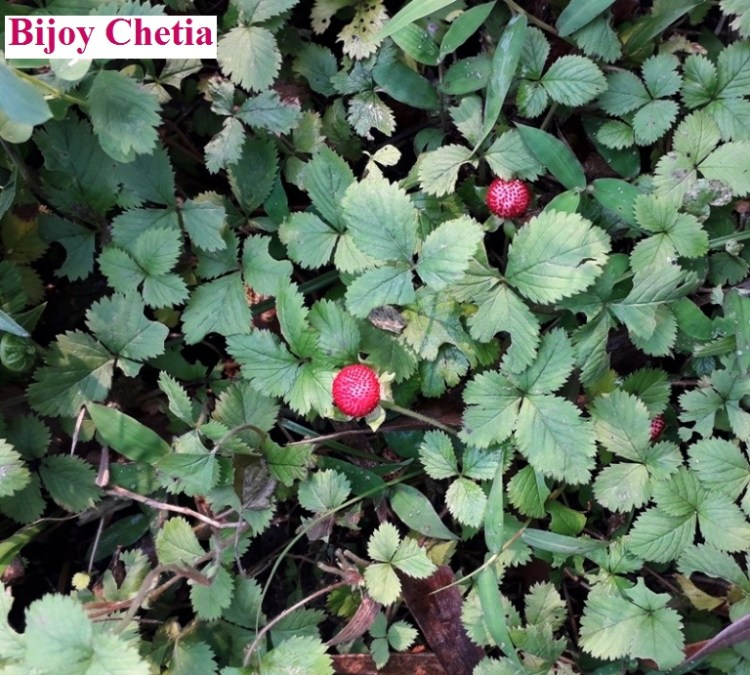plant of Potentilla indica Andrews is growing