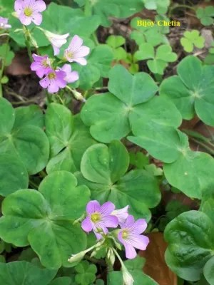 healthy growth of leaves and flowers of Oxalis debilis plant