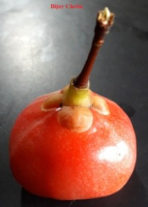 A red ripe fruit of rupohi thekera with isolated pedicel and sepal at black background