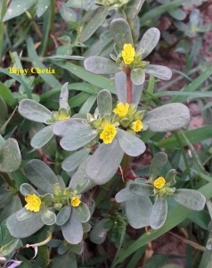 common purslane plant with its yellow flowers stands out against green grass growing on soil.