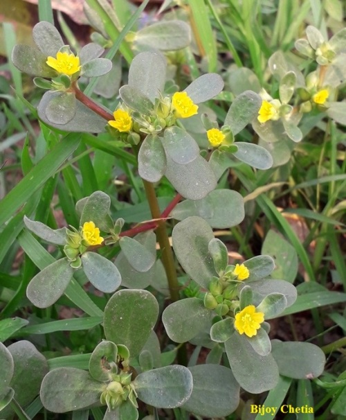 Several yellow flowers on Portulaca oleracea plants at the background of green grasses
