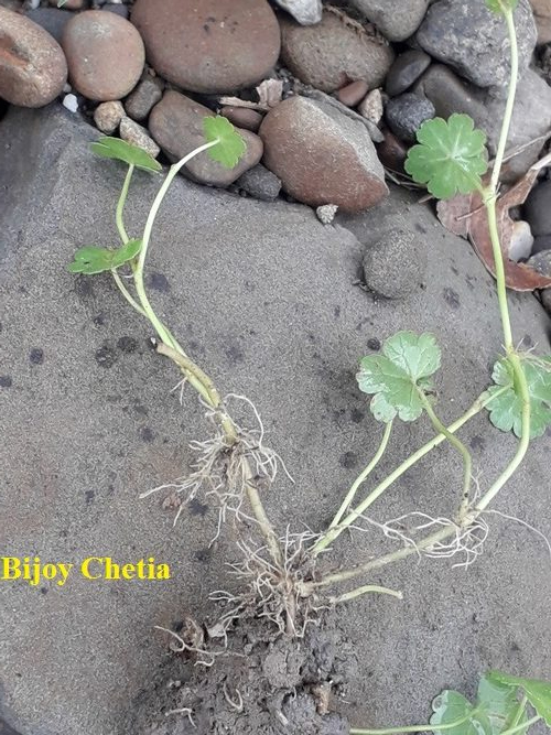 roots of Hydrocotyle sibthorpioides at nodes
