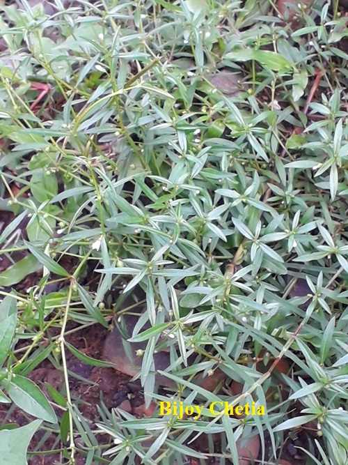 whole plant of snake needle grass grows on soil