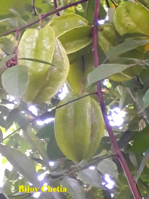 Six fruits of Carambola tree on a branch