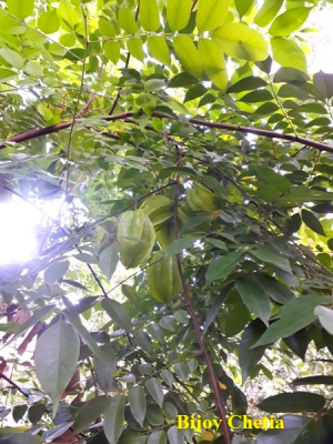 fruits of Five corner plant are hanging on leafy branches