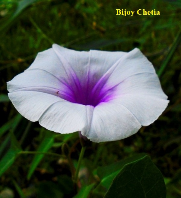 A white Flower of Ipomoea aquatica with purple centre