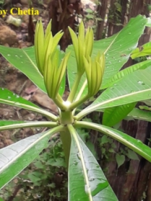 Young leaves of Alstonia scholaris are growing in whorled pattern