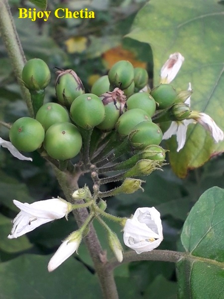 green pea like fruits of pea egg plant with white flowers