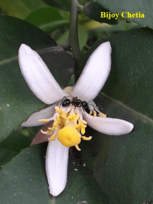 an ant on a blooming limon flower