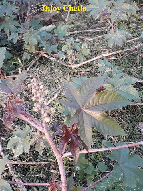 red stem of castor plant is bearing leaves and flower
