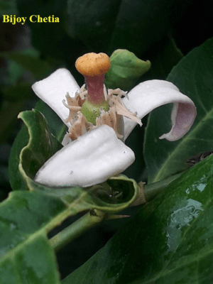 one young limon in the flower