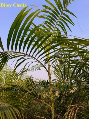 A Calamus tenuis is growing in the wild