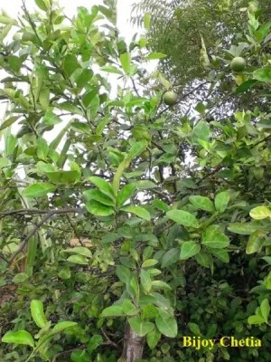 A Citrus aurantiifolia is growing with fruits