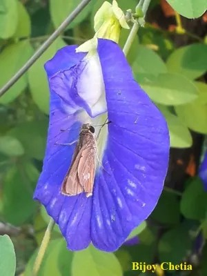 A butterfly is landing on a flower of bluebellvine