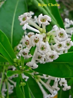 beautiful day-blooming jessamine flowers in close up