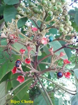 ripe and unripe fruits of Clerodendrum glandulosum are in close up