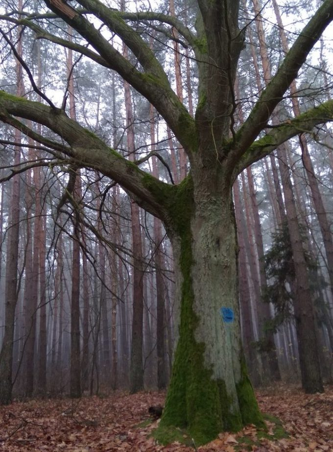 wyznaczanie kierunków świata drzewo 1