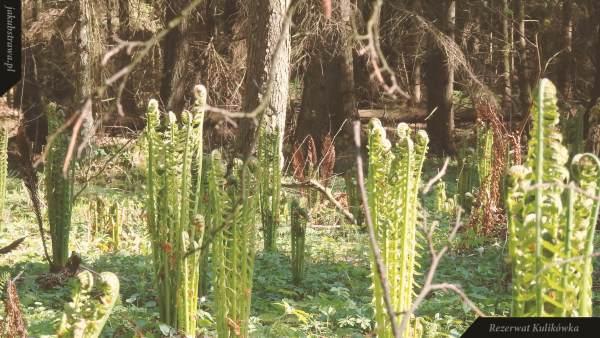 Liście płone i w tle brunatny liść zarodnionośny | Rezerwat Kulikówka