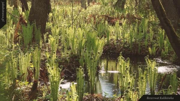 Rezerwat Kulikówka - stanowisko pióropusznika strusiego