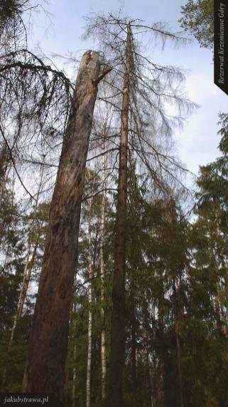 Stare martwe drzewa dodają uroku | Rezerwat Krzemienne Góry
