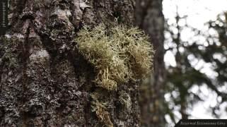 Mąkla tarniowa (Evernia prunastri)   Rezerwat Krzemienne Góry