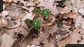 Młody łubin (Lupinus sp.)   Rezerwat Krzemienne Góry