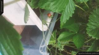 Owoc poziomki | Ogród na balkonie