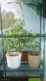 Pomidory | Ogród na balkonie