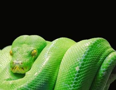 green tree python, python, tree python