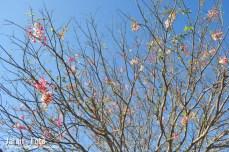Sakura ala sumba