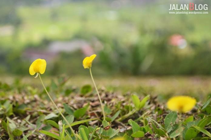 Salah satu jenis bunga yang banyak di Bukit Doa Mahawu