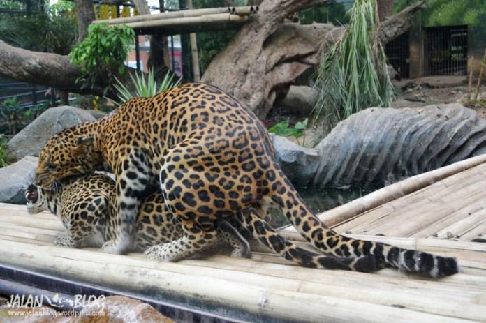 Greget banget nih Cheetah