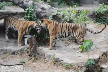 Pusing deh harimau sumatra ini