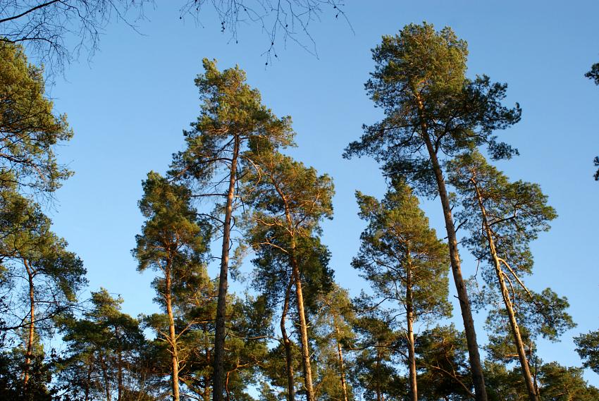 Baumwipfel von Kiefern vor starkblauem Himmel