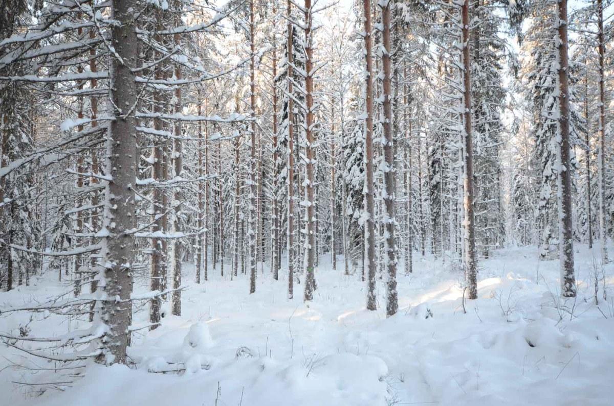 Lumiset puunrungot Haukkavuoren polulla. Kuva: Upe Nykänen