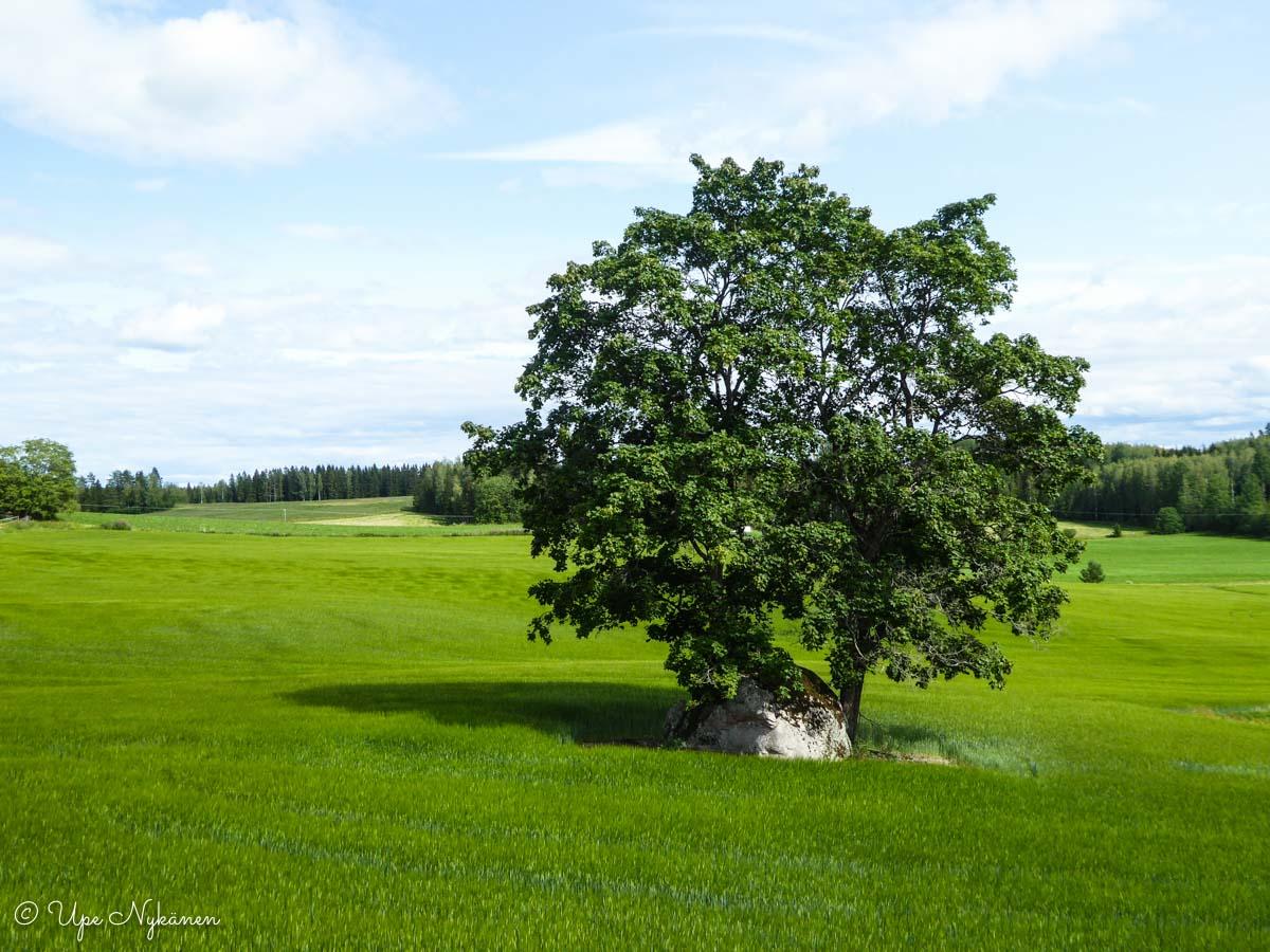 Puu niityn keskellä.