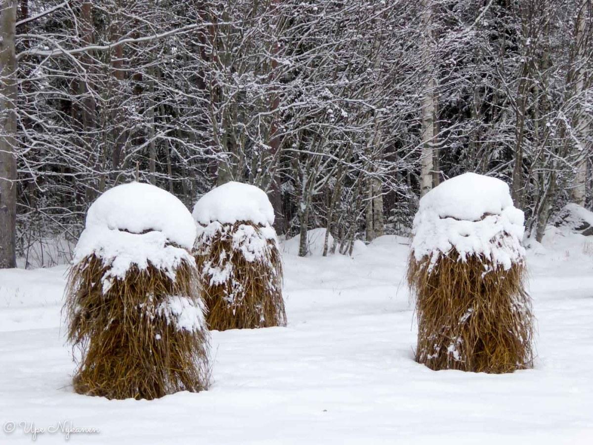 Lumen peittämät heinäseipäät, tie 58 varressa.