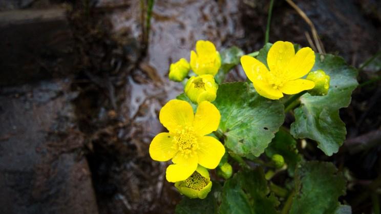 Rentukka kukkii Tourujoen luontopolun varressa.