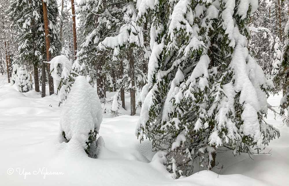 Lumipeitteisiä kuusia ja umpihankea.