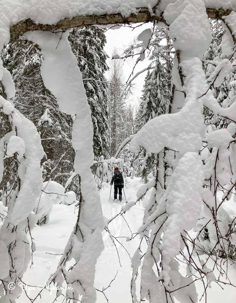 Lumen peittämien oksien läpi näkyy, kun hiihtäjä avaa latu-uraa.