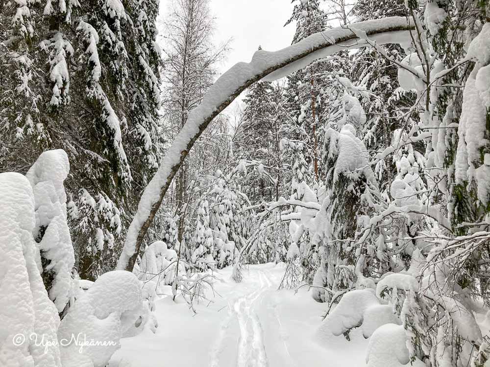 Lumen peittämä koivu kaareutuu latu-uran yli.