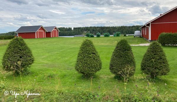 Omakotitalon pihan tarkkaan leikattu nurmikko ja kartion muotoon leikatut tuijat.
