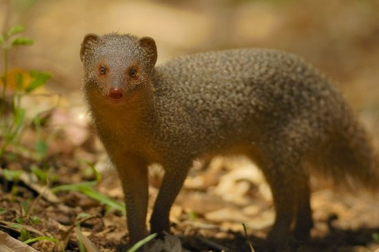 The Small Indian Mongoose (Photo Source: Yathin via Flickr)