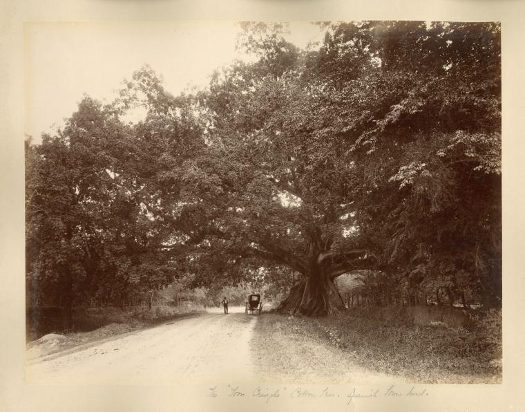 Tom Cringle Cotton Tree