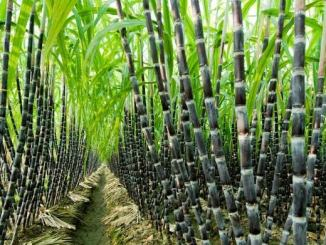 Sugarcane Farming Business Plan PDF in Nigerian