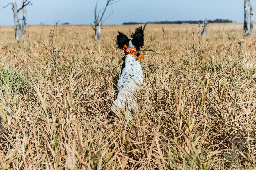 The tall switchgrass means the dogs have to leap into the air to see where they are going and keep track of their handlers.