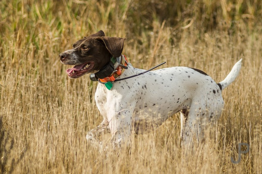 Norm LIppert's dog Rye bounding through the fields in search of birds.