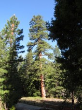 The big ponderos pine in the summer light