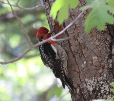 Red-breasted Sapsucker at nest hole